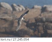 Купить «Greater crested tern (Thalasseus bergii) flying against a backdrop of the South Atlantic Ocean. Lambert's Bay, South Africa.», фото № 27245054, снято 25 апреля 2018 г. (c) Nature Picture Library / Фотобанк Лори