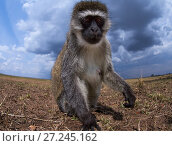 Vervet monkey (Cercopithecus aethiops) approaching remote camera with curiosity. Taken with a remote camera controlled by the photographer. Maasai Mara National Reserve, Kenya. August. Стоковое фото, фотограф Anup Shah / Nature Picture Library / Фотобанк Лори