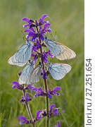 Купить «Black veined white butterflies (Aporia crataegi)  group roosting on plant just after emergence, Herault, France, May.», фото № 27251654, снято 19 августа 2018 г. (c) Nature Picture Library / Фотобанк Лори