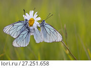 Купить «Group of Black veined white butterflies (Aporia crataegi) just after emergence, Herault, France, May.», фото № 27251658, снято 19 августа 2018 г. (c) Nature Picture Library / Фотобанк Лори