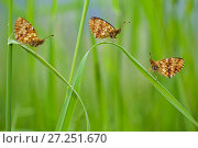 Купить «Lesser marbled fritillary butterflies (Brenthis ino) group of three, Haute-Savoie, France, June.», фото № 27251670, снято 19 августа 2018 г. (c) Nature Picture Library / Фотобанк Лори