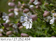 Купить «Bladder campion (Silene vulgaris) Sark, British Channel Islands, May 2014», фото № 27252434, снято 21 июля 2018 г. (c) Nature Picture Library / Фотобанк Лори