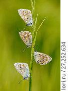 Купить «Adonis blue butterflies (Polyommatus bellargus) group of four, La Brenne Regional Natural Park, France, May.», фото № 27252634, снято 19 августа 2018 г. (c) Nature Picture Library / Фотобанк Лори