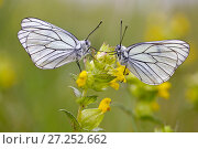 Купить «Two Black veined white butterflies (Aporia crataegi) just after emerging, Herault, France, May.», фото № 27252662, снято 19 августа 2018 г. (c) Nature Picture Library / Фотобанк Лори