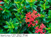 Купить «a bush with beautiful small tropical flowers of red color», фото № 27252714, снято 7 ноября 2016 г. (c) Константин Лабунский / Фотобанк Лори