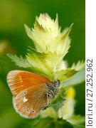 Купить «Chestnut heath (Coenonympha glycerion), Savoie, France, July.», фото № 27252962, снято 15 декабря 2017 г. (c) Nature Picture Library / Фотобанк Лори