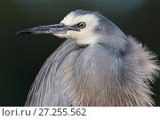 Купить «White faced heron (Egretta novaehollandiae) portrait, close-up. Christchurch, New Zealand. July..», фото № 27255562, снято 18 декабря 2017 г. (c) Nature Picture Library / Фотобанк Лори