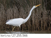 Купить «Great Egret or White heron (Ardea alba modesta), fishing along stream edge.  Ashley River, Canterbury, New Zealand. July.», фото № 27255566, снято 17 июня 2019 г. (c) Nature Picture Library / Фотобанк Лори
