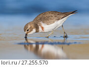 Banded dotterel or double-banded plover (Charadrius bicinctus) feeding in shallow water. Ashley River, Canterbury, New Zealand. July. Стоковое фото, фотограф Andy Trowbridge / Nature Picture Library / Фотобанк Лори