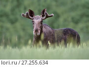 Купить «Bull Moose (Alces alces) standing in crop field.  Norway. July.», фото № 27255634, снято 15 августа 2018 г. (c) Nature Picture Library / Фотобанк Лори