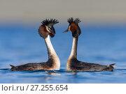 Купить «Australasian crested grebe pair (Podiceps cristatus australis) doing courtship display. Ashburton Lakes, Canterbury, New Zealand. August.», фото № 27255654, снято 25 апреля 2018 г. (c) Nature Picture Library / Фотобанк Лори