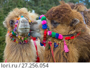 Купить «Domesticated Bactrian camels (Camelus bactrianus) with colourful halters, used for camel racing England, UK.», фото № 27256054, снято 21 января 2018 г. (c) Nature Picture Library / Фотобанк Лори