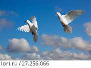 Купить «Domestic Fan-tailed pigeons (Columba livia) in flight against a blue sky England, UK.», фото № 27256066, снято 12 декабря 2017 г. (c) Nature Picture Library / Фотобанк Лори