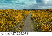 Купить «Gorse (Ulex europaeus) in flower on Salthouse Heath, Norfolk, England, UK, April.», фото № 27256078, снято 15 декабря 2017 г. (c) Nature Picture Library / Фотобанк Лори