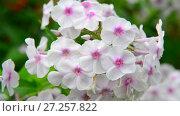 Купить «white phloxes close-up in garden», видеоролик № 27257822, снято 13 июля 2017 г. (c) Володина Ольга / Фотобанк Лори