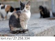 Купить «Tricolor cat», фото № 27258334, снято 12 октября 2017 г. (c) Stockphoto / Фотобанк Лори