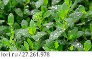 Купить «Wet grass after rain close up», видеоролик № 27261978, снято 11 июня 2017 г. (c) Володина Ольга / Фотобанк Лори
