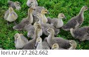 Купить «Flock of goose grazing on green grass», видеоролик № 27262662, снято 12 июля 2017 г. (c) Володина Ольга / Фотобанк Лори