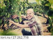 Купить «Mature man picking ripe grapes on vineyard», фото № 27262718, снято 15 декабря 2017 г. (c) Яков Филимонов / Фотобанк Лори
