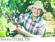 Купить «Mature man picking ripe grapes on vineyard», фото № 27262726, снято 15 декабря 2017 г. (c) Яков Филимонов / Фотобанк Лори