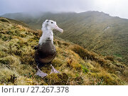 Купить «Tristan albatross (Diomedea dabbenena) large chick awaiting parents' return. Tafel Kople, Gough Island, Gough and Inaccessible Islands UNESCO World Heritage...», фото № 27267378, снято 17 декабря 2017 г. (c) Nature Picture Library / Фотобанк Лори
