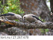 Купить «Clark's nutcracker (Nucifraga columbiana) two juveniles searching for food in pine tree, Lamar Valley, Yellowstone National Park, Wyoming, USA, June.», фото № 27267678, снято 27 марта 2019 г. (c) Nature Picture Library / Фотобанк Лори