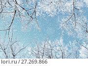 Купить «Winter natural view of winter frosty tree tops. Winter background - frosty branches of the winter trees under snowfall», фото № 27269866, снято 11 января 2010 г. (c) Зезелина Марина / Фотобанк Лори
