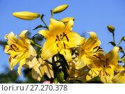 Купить «Лилия ОТ-гибрид Серано (Serano) в саду на фоне голубого неба», фото № 27270378, снято 13 августа 2017 г. (c) Ольга Сейфутдинова / Фотобанк Лори