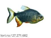 Купить «Рыба пиранья (Pygocentrus nattereri) на белом фоне», фото № 27271682, снято 19 июля 2017 г. (c) Евгений Ткачёв / Фотобанк Лори