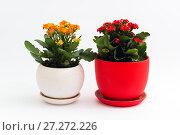 Купить «Orange and red kalanchoe in a pot on light background», фото № 27272226, снято 25 ноября 2017 г. (c) Володина Ольга / Фотобанк Лори