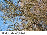 Купить «Распускающаяся лиственница весной», фото № 27275826, снято 20 апреля 2016 г. (c) Алёшина Оксана / Фотобанк Лори