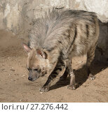 Купить «Striped hyena (Hyaena hyaena). Симпатичная гиена», фото № 27276442, снято 18 февраля 2016 г. (c) Валерия Попова / Фотобанк Лори
