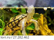 Red-eared sliders in the terrarium. Стоковое фото, фотограф Евгений Ткачёв / Фотобанк Лори