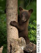 Black bear cub (Ursus americanus) climbing a tree, Minnesota, USA, June. Стоковое фото, фотограф Danny Green / Nature Picture Library / Фотобанк Лори