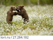 Brown Bear (Ursus arctos) cubs play fighting amongst cotton grass, Finland, June. Стоковое фото, фотограф Danny Green / Nature Picture Library / Фотобанк Лори