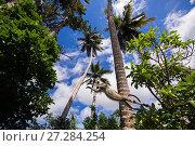 Купить «Zanzibar red colobus (Procolobus kirkii) jumping. Jozani-Chwaka Bay National Park, Zanzibar, Tanzania. June.», фото № 27284254, снято 21 января 2020 г. (c) Nature Picture Library / Фотобанк Лори