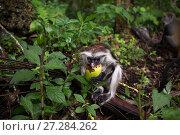 Купить «Zanzibar red colobus (Procolobus kirkii) juvenile feeding. Jozani-Chwaka Bay National Park, Zanzibar, Tanzania. May.», фото № 27284262, снято 21 января 2020 г. (c) Nature Picture Library / Фотобанк Лори