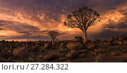 Купить «Quiver tree (Aloe dichotoma) at sunset, panoramic, Namib Desert, Namibia, March 2017.», фото № 27284322, снято 15 декабря 2017 г. (c) Nature Picture Library / Фотобанк Лори