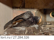 Купить «Common swift chick (Apus apus) almost fully grown stretching its wings and flapping them as it sits on the nest cup in a nest box a few days before fledging, Cambridge, UK, August.», фото № 27284326, снято 20 августа 2018 г. (c) Nature Picture Library / Фотобанк Лори