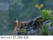 Купить «Peregrine falcon female (Falco peregrinus)  Andalusia, Spain, May», фото № 27284426, снято 20 августа 2018 г. (c) Nature Picture Library / Фотобанк Лори