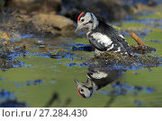 Купить «Great spotted woodpecker (Dendrocopos major) bathing,   Andalusia, Spain, June.», фото № 27284430, снято 14 декабря 2017 г. (c) Nature Picture Library / Фотобанк Лори