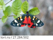Купить «Scarlet tiger moth (Callimorpha dominula)  Catbrook, Monmouthshire, Wales, UK. June», фото № 27284502, снято 18 июля 2018 г. (c) Nature Picture Library / Фотобанк Лори