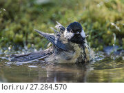 Купить «Great tit (Parus major) bathing,  Brasschaat, Belgium», фото № 27284570, снято 27 мая 2018 г. (c) Nature Picture Library / Фотобанк Лори