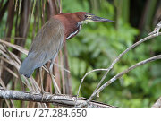 Купить «Rufescent tiger heron (Tigrisoma lineatum) Madidi National Park, Bolivia», фото № 27284650, снято 26 мая 2019 г. (c) Nature Picture Library / Фотобанк Лори