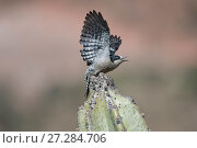 Купить «White-fronted woodpecker (Melanerpes cactorum) taking off from cactus,  Red-fronted Macaw Community Nature Reserve, Omerque, Bolivia», фото № 27284706, снято 14 ноября 2018 г. (c) Nature Picture Library / Фотобанк Лори