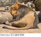 Купить «Спящий лев (Panthera leo persica)», фото № 27284958, снято 1 мая 2016 г. (c) Валерия Попова / Фотобанк Лори