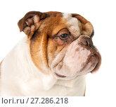 Купить «Portrait of a dog breed English Bulldog close-up on a white background.», фото № 27286218, снято 23 марта 2019 г. (c) Olesya Tseytlin / Фотобанк Лори