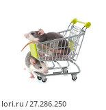Купить «Cute little decorative rats in a shopping cart on a pure white background.», фото № 27286250, снято 23 января 2019 г. (c) Olesya Tseytlin / Фотобанк Лори