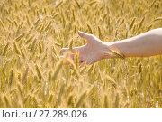 Купить «Женская рука трогает колосья ржи на поле», фото № 27289026, снято 27 июля 2017 г. (c) Алёшина Оксана / Фотобанк Лори