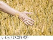 Купить «Женская рука в колосьях ржи», фото № 27289034, снято 27 июля 2017 г. (c) Алёшина Оксана / Фотобанк Лори